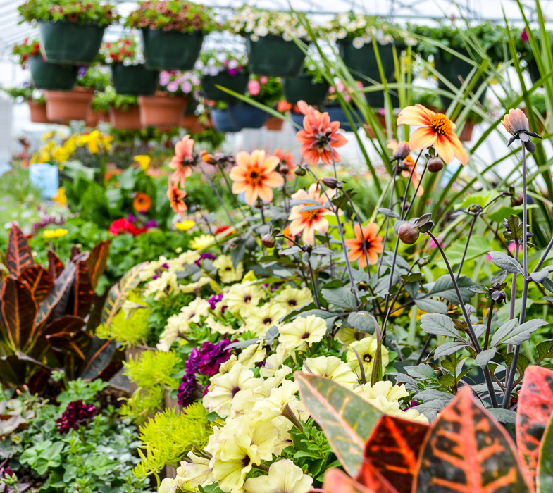 Forever Green Grows Coralville Iowa Garden Center orange flowers