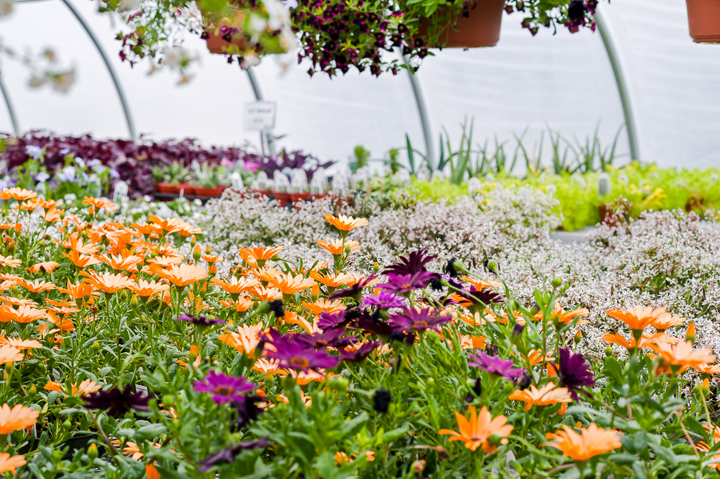 Forever Green Grows Coralville Iowa Garden Center orange purple flowers up close