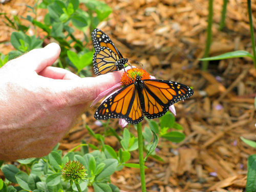 Forever Green Coralville Iowa monarchs at butterfly garden