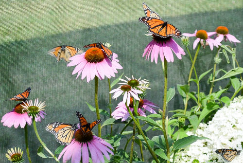 Forever Green Coralville Iowa monarchs on coneflower at butterfly house